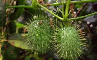 Эхиноцистис: оптимальные условия выращивания, использование в озеленении