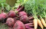 Выращивание моркови и свёклы, подготовка семян, посев, правильный уход, обработка от вредителей