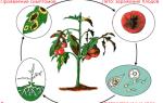 Народные средства против фитофторы на томатах