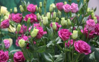 Эустома — выращивание из семян в домашних условиях: когда сажать и каким способом, популярные сорта