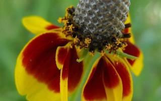 Ратибида: виды с фото, выращивание, уход, способы размножения