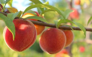 Обрезка персика осенью, её цель и технологии + фото и видео