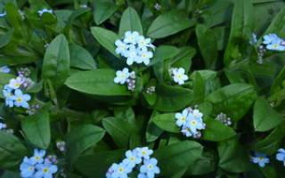 Бруннера: интересные виды с фото, правила выращивания, ухода, способы размножения