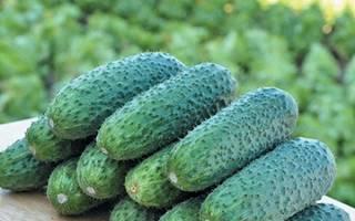 Огурцы сорта Чайковский: описание сорта и особенности выращивания + фото и отзывы