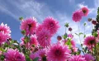 Чем подкормить георгины для роста и обильного цветения в открытом грунте