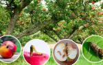 Народные методы защиты яблони от вредителей