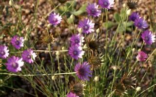 Ксерантемум: выращивание и уход, использование сухоцветника