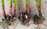 Посадка пионов осенью в открытый грунт – когда и как посадить разные виды цветов