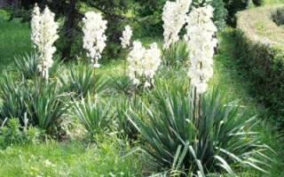 Юкка: выращивание в открытом грунте, уход, размножение черенками, зимовка