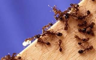 Как вывести муравьев с дачного участка. Видео