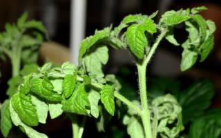 Причины скручивания листьев томатов