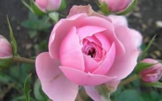 Как правильно выбрать саженцы роз в магазине, какие сорта роз бывают +Видео