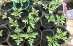 Бархатцы: посев в грунт, выращивание рассады, уход, использование