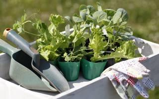 Выращивание кольраби: рассада, уход, хранение