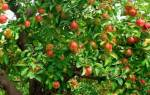 Почему яблоня не цветёт и не плодоносит — что с этим делать