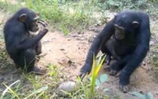 Шимпанзе испугались черепахи видео