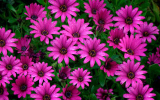 Остеоспермум: виды и сорта с фото, правила выращивания, ухода, размножения