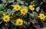 Санвиталия: выращивание эффектного почвопокровного или ампельного растения