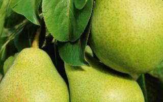 Как избавиться от вредителей в саду, обработка груши, как лечить кору плодовых деревьев
