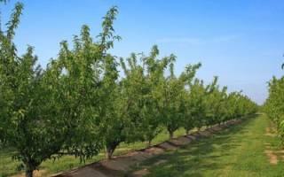 Как пересаживать взрослые плодовые деревья, подготовка почвы, подготовка дерева к пересадке, уход после пересадки