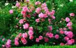 Как привить розу на шиповник летом — правила прививок (в том числе черенком, окулировкой)
