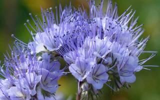 Фацелия: выращивание из семян, уход, декоративные виды с фото