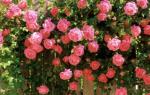 Плетистые розы: правильная посадка и уход + секреты обрезки и размножения