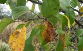Выращивание яблонь: как лечить заболевания, как избавиться от вредителей