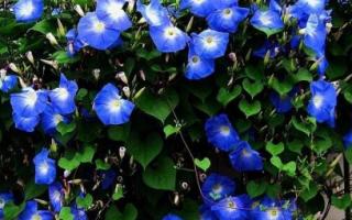 Поговорим о вьющихся растениях в саду
