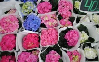 Почему не цветёт гортензия и как помочь комнатному и садовому цветку