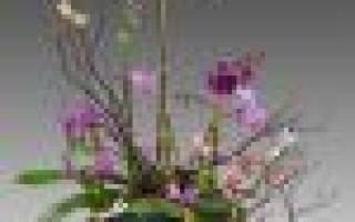 О́фрис: описание видов с фото, особенности ухода и размножения орхидеи-насекомого