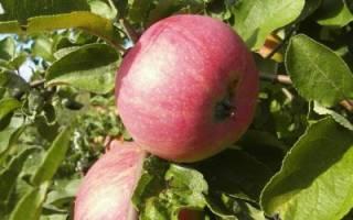 Выращивание яблонь и груш: как выращивать, если рядом грунтовые воды, как укрыть от заморозков