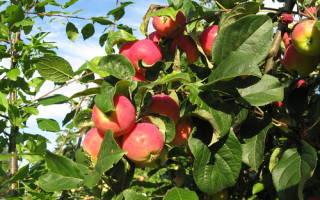 Яблоня: посадка и уход, обрезка, защита от болезней и вредителей, декоративные виды