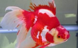 Золотая рыбка плавала вверх брюхом потому что имела большую голову