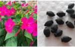 Мирабилис: выращивание из семян, уход, размножение, сохранение клубней