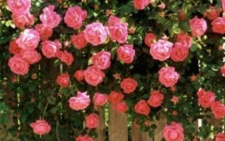 Обрезка роз на зиму осенью: как делать, когда, нужно ли и др особенности для разных типов