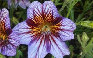 Сальпиглоссис: интересные сорта с фото, выращивание из семян, уход