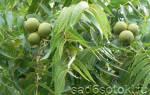 Грецкий орех: посадка, уход, формировка, размножение