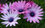 Диморфотека — выращивание из семян: когда сажать и какой способ лучше в домашних условиях, популярные сорта