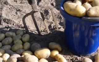 Когда копать картошку: общие сроки, отличия в регионах и советы по лунному календарю