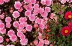 Как правильно размножать и выращивать хризантемы, особенности ухода за ними (видео)