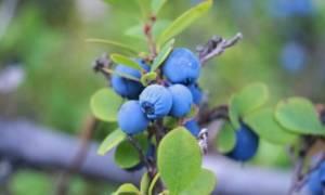 Почему не плодоносит садовая голубика, сохнет или желтеют листья, как бороться с этими и другими болезнями