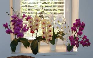 Уход в домашних условиях за орхидеей фаленопсис: секреты цветовода