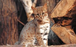 Ржавую кошку нашли в Индии на плантации сахарного тростника