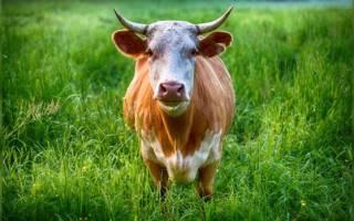 Самый маленький бык в мире появился в Книге рекордов Гиннеса
