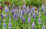 Вероника: посадка и уход, выращивание из семян