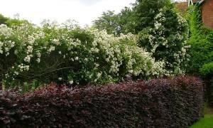 Кустарники для живой изгороди: быстрорастущие, декоративные, колючие