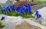 Выращиваем горечавки — небесные цветы с горным характером