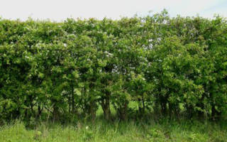 Живая изгородь из боярышника: как выбрать и посадить саженцы своими руками