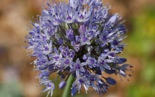 Аллиум: выращивание и размножение декоративных и съедобных видов лука